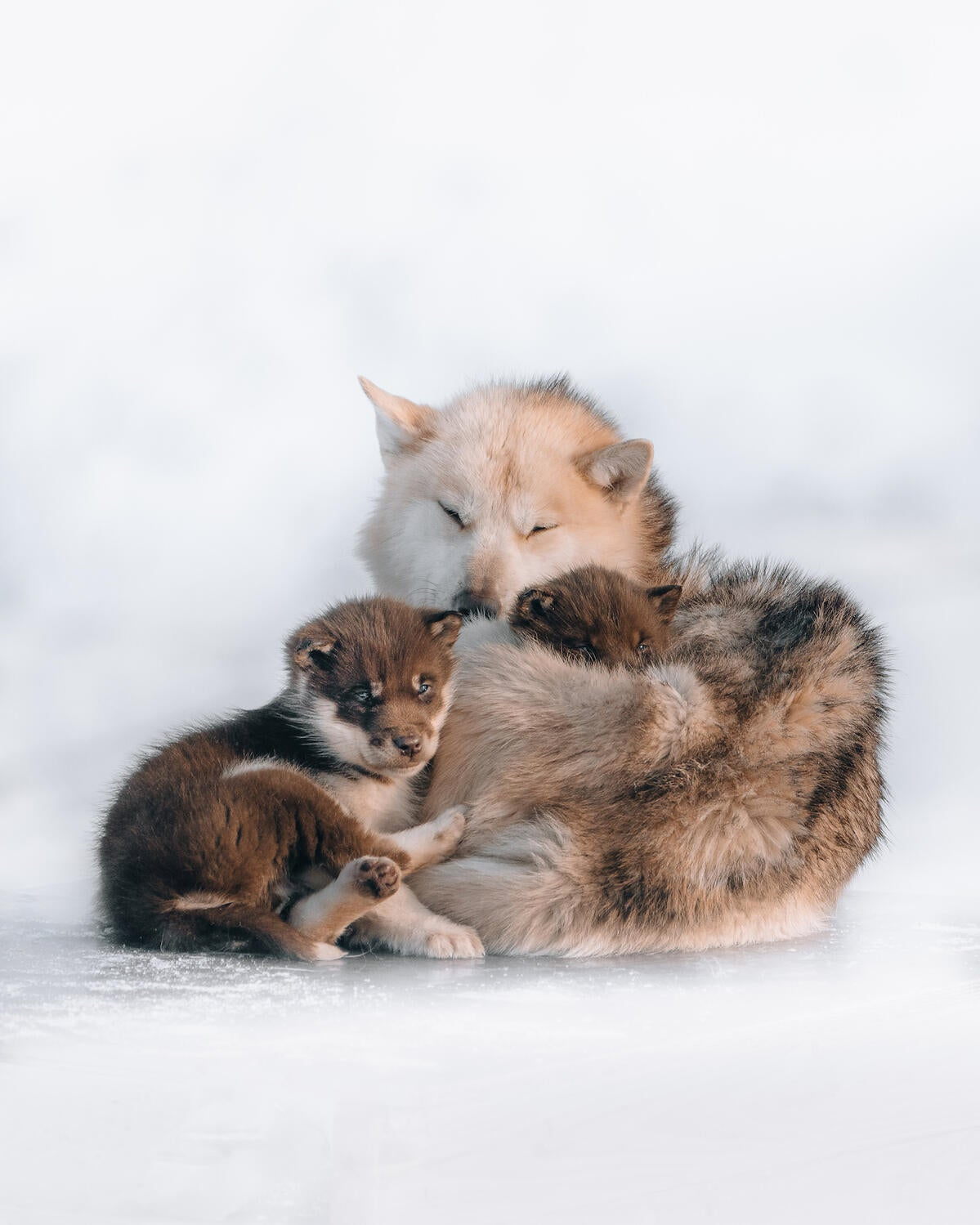 Photo Of The Day: A Sled Dog Snuggle Session In Sub-Zero Temps