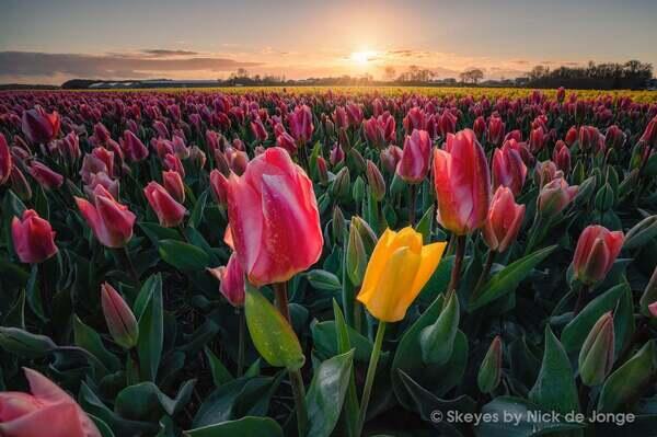 Alpha-Universe-BTS-Tulips-Nick-De-Jonge-1.jpg