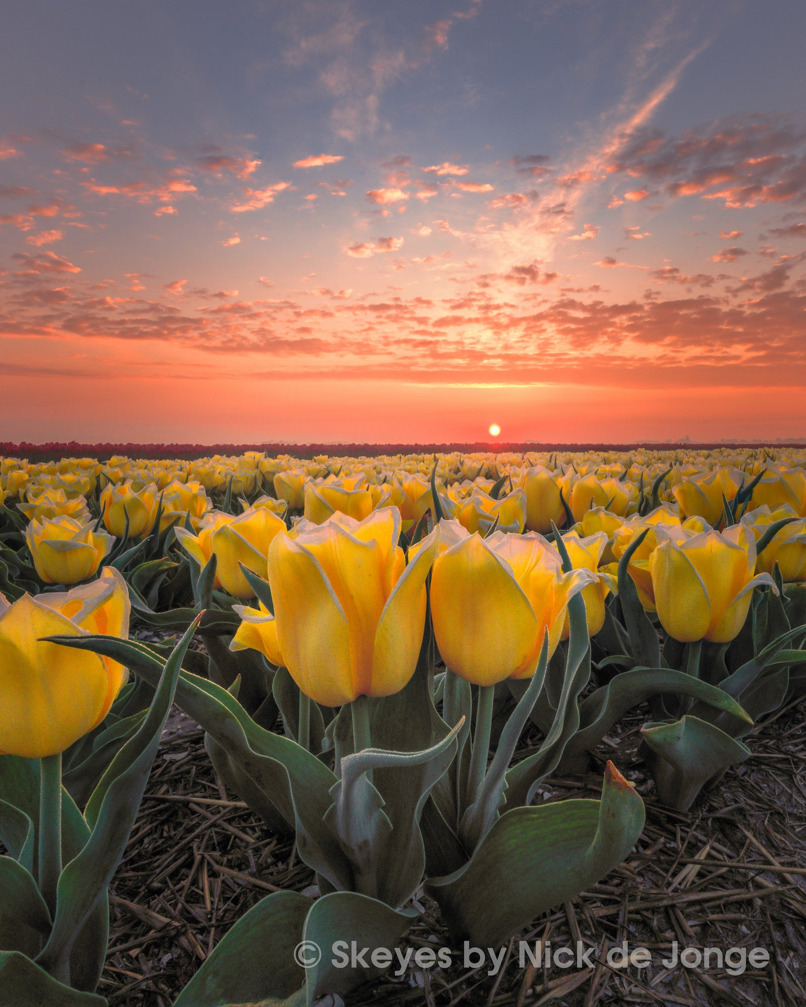 Alpha-Universe-BTS-Tulips-Nick-De-Jonge-3.jpg