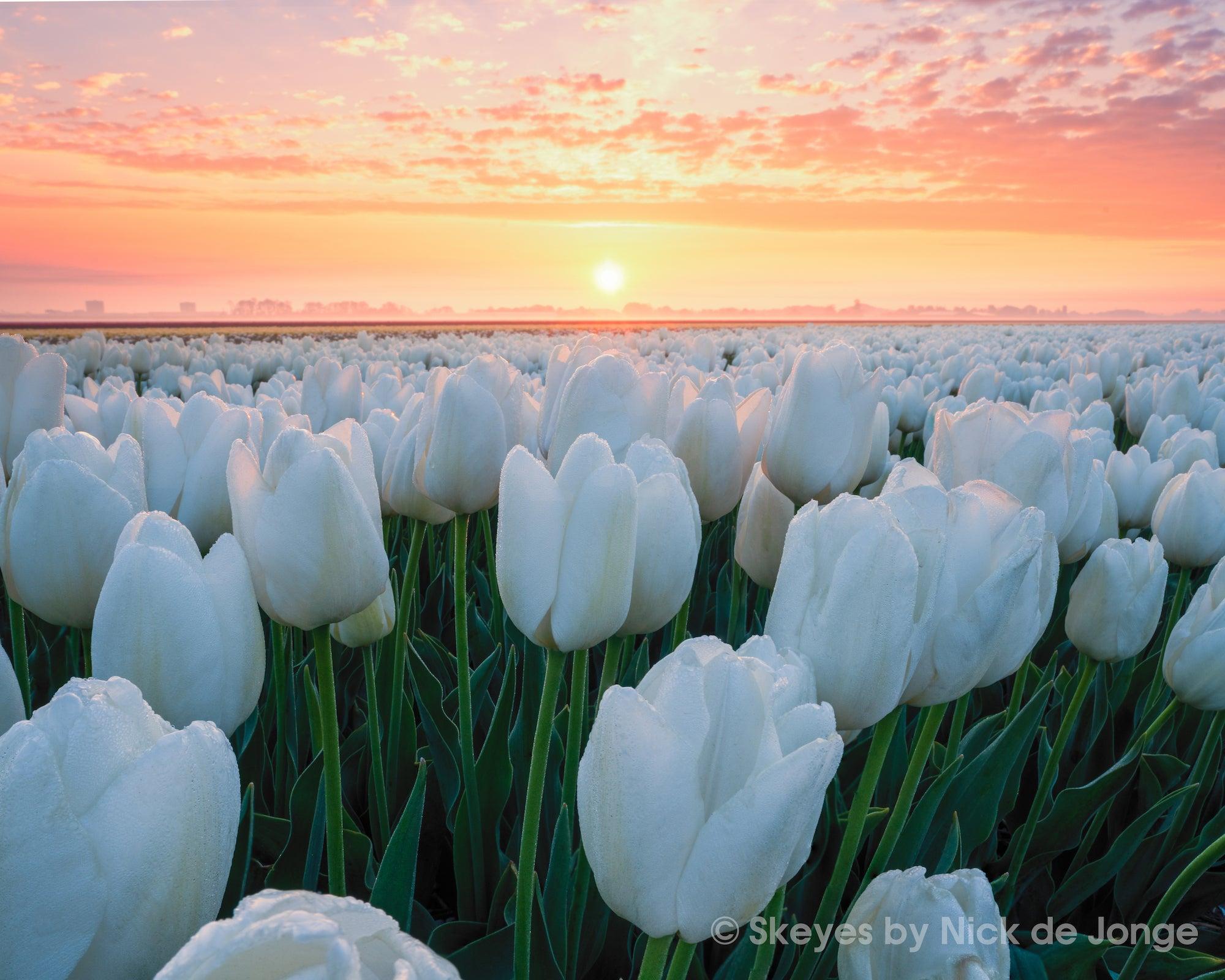 Alpha-Universe-BTS-Tulips-Nick-De-Jonge-4.jpg