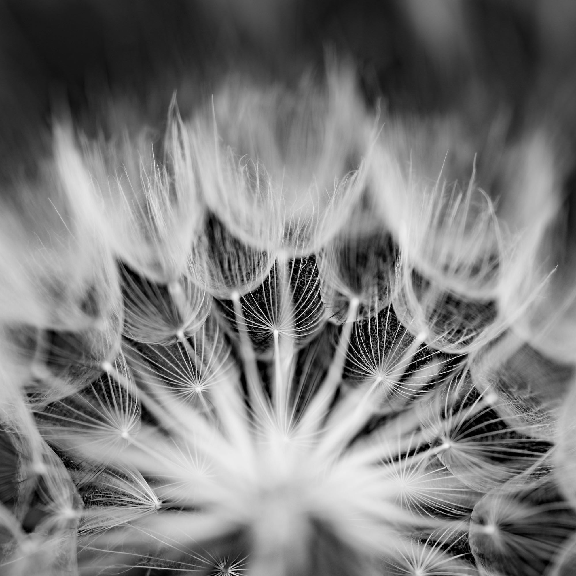 Alpha-Universe-Caroline-Jensen-Macro-huge-dandelion-bw-00104.jpg