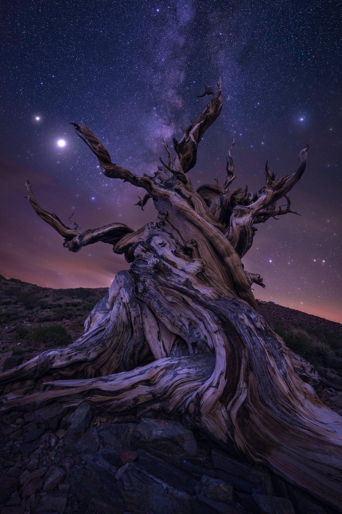 Alpha-Universe-First-Shots-Jess-Santos-Bristlecones_MW.jpg
