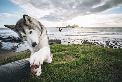 The Rise Of Loki The Wolfdog And His 1 8 Million Instagram Followers