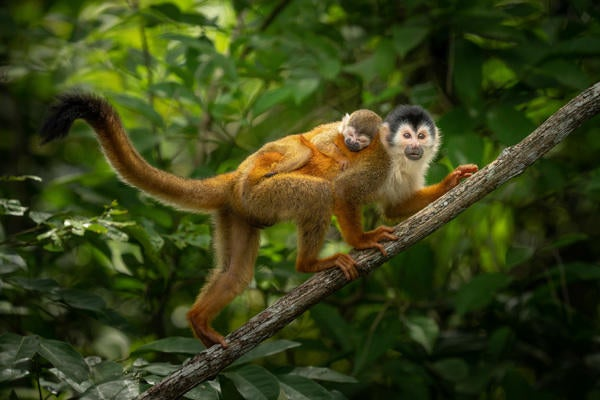 Alpha-Universe-Matt-Kloskowski-Sony-100-400mm-GM-squirrel-monkey.jpg