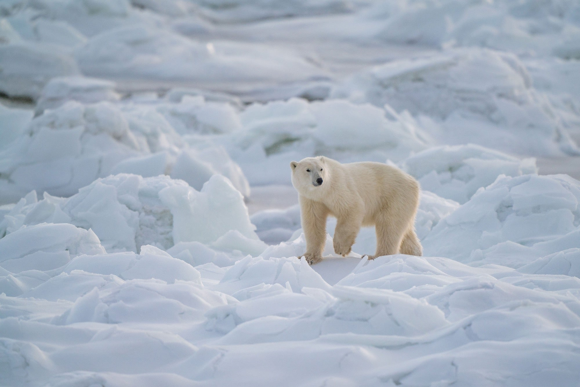 Sony 400mm f/2 8 G Master Field Test: The Polar Bears Of Churchill