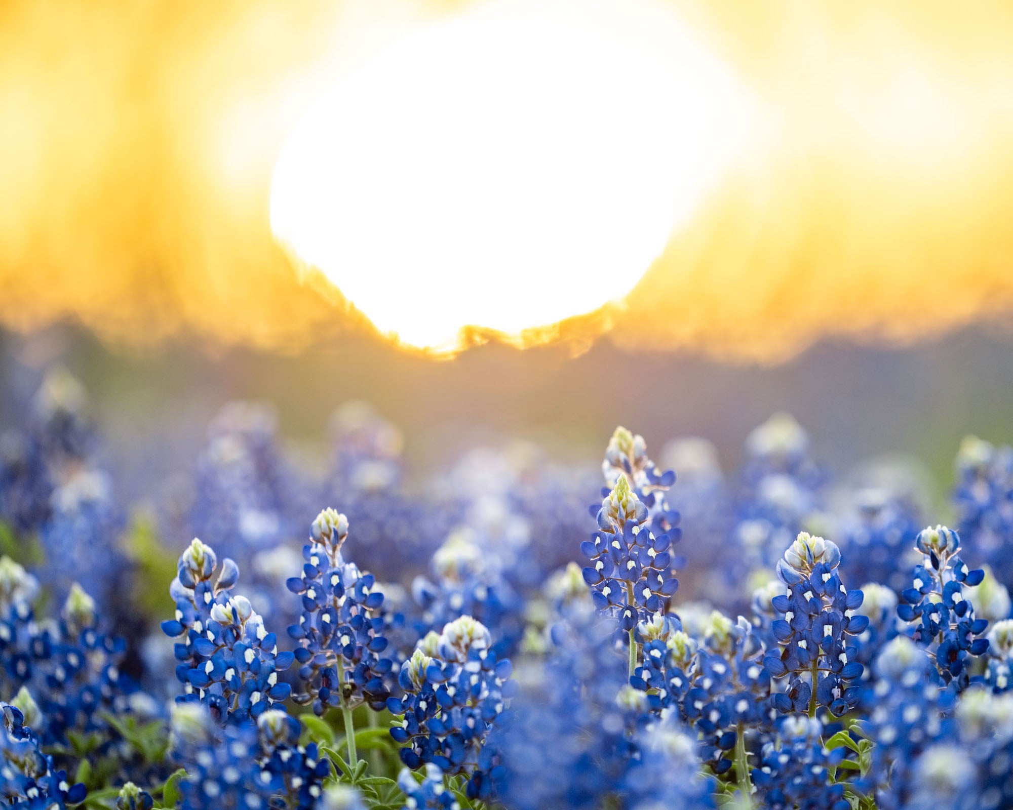 Alpha-Universe-WIMB-Andy-Luten-bluebonnet-sunrise-2.jpg