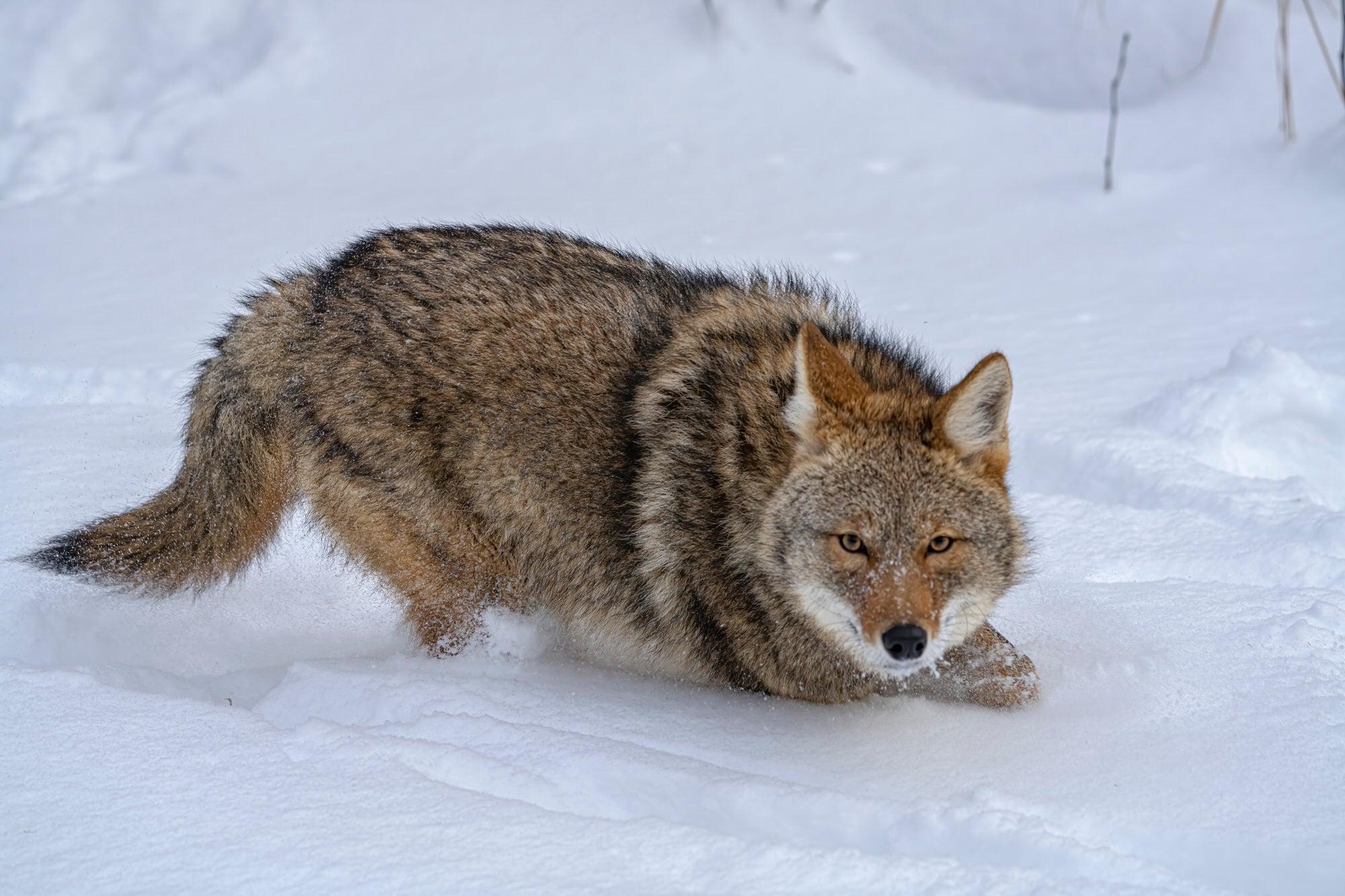 Alpha-Universe-photo-by-Marth-Hidalgo-Alpha-Female-Plus-f.Coyote.SkeKT1MvyO.jpg